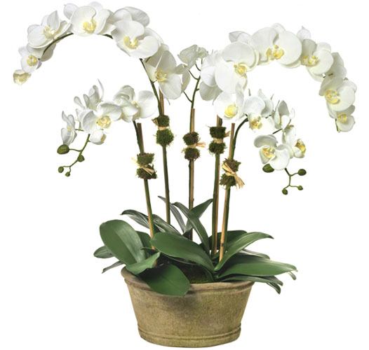 LARGE MOTH ORCHID