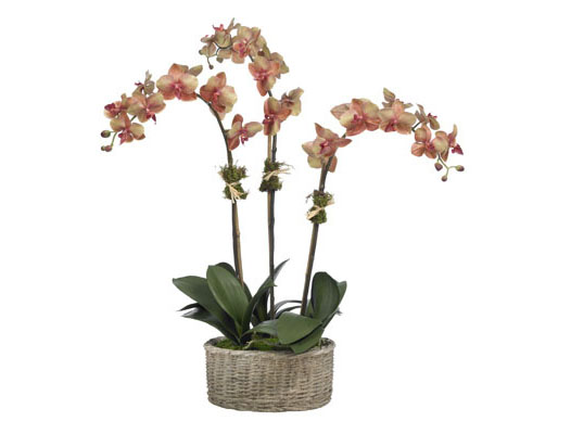 FALL MOTH ORCHID IN CEMENT BASKET