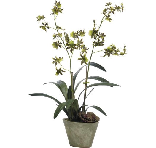 GRACEFUL GREEN ONCIDIUM