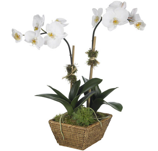 SMALL MOTH ORCHID IN BASKET