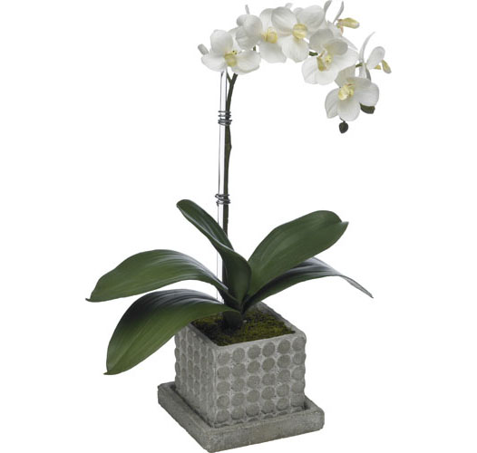 SMALL MOTH ORCHID IN SQUARE