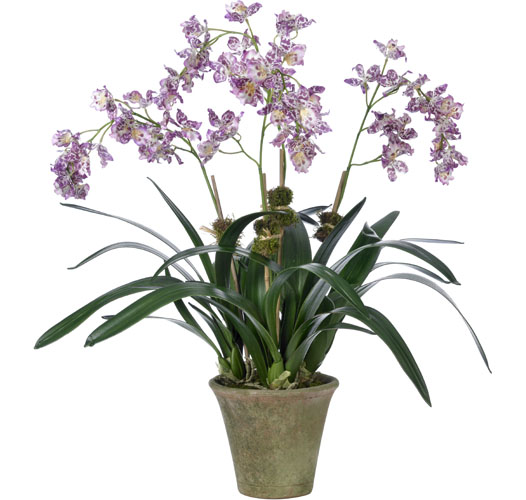 PURPLE/WHITE MILTONIA ORCHID