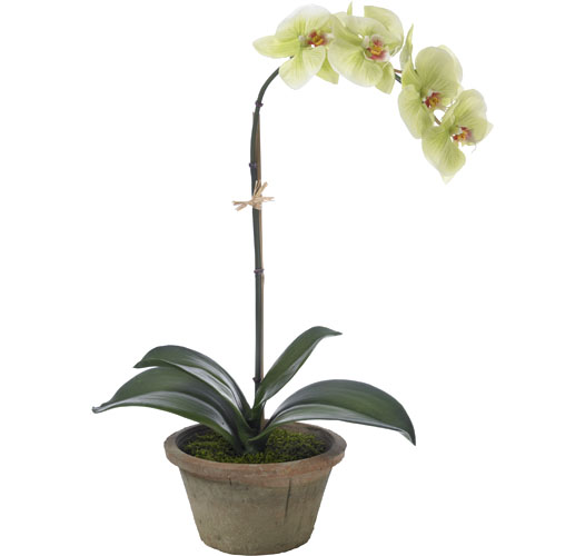 BLOOMS SMALL LIGHT GREEN MOTH ORCHID
