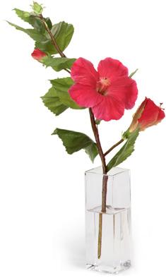 Diane James Fuchsia Hibiscus Gift