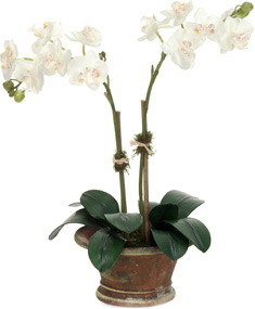 Diane James Small Phalaenopsis - White