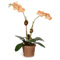 Diane James Mini Phalaenopsis - Yellow
