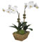 Diane James Small Moth Orchid in Basket